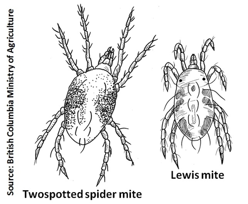 Lewis mite-TSSM-BC Ministry of Agriculture
