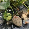 Botrytis fruit rot