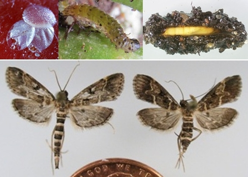 Life stages of the European pepper moth.  Photo credits: Lance Osborne, B Vander Mey, and James Hayden,