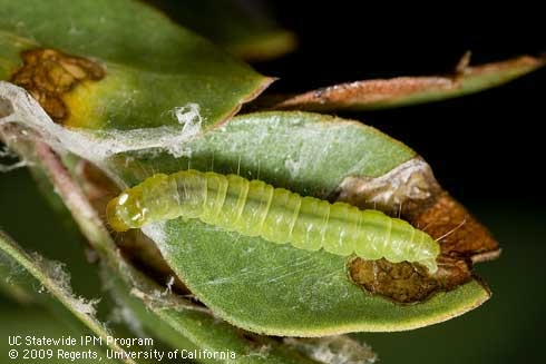 Light Brown Apple Moth-Larva and damaged leaf