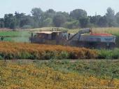 Mechanized harvest of tomatoes in California.