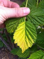Yellowing of raspberry leaf on one side deriving from heat stress.
