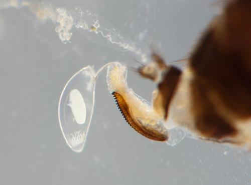 A single egg in comparison in size to the abdomen of a female spotted wing drosophila.  Photo courtesy Steve Tjosvold and Monise Sheehan, UCCE