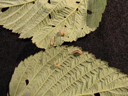 Raspberry sawfly larvae.