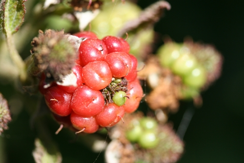 More mature fruit distorted by lack of pollination.