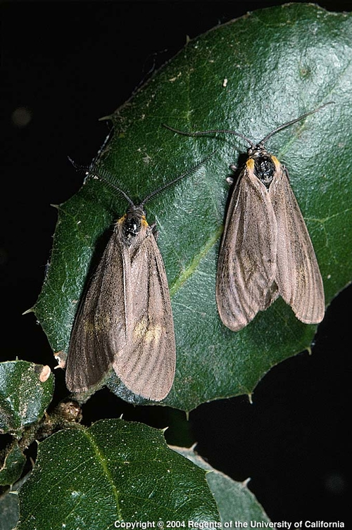 California oakworm adult moths.  These are harmless to berries.
