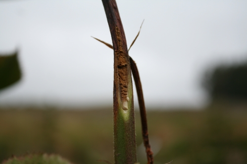 Cutaway of Arapaho cane affected by tip dieback.