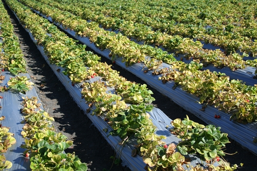 Field of yellowed strawberry plants in a chloride and sodium affected field in Castroville.