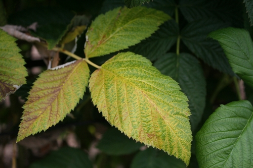Photo of leaf yellowing, note distinctive mottling pattern.
