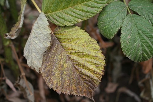 Leaf yellowing and necrosis.  Note that the bulk of the senescence is on one side of the leaf.