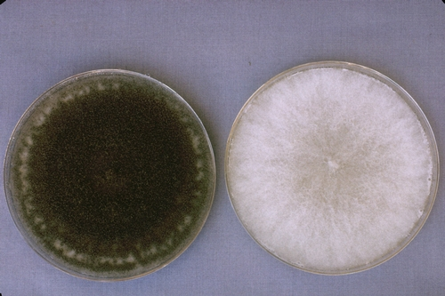 Botrytis cultures grown with light (left) and in complete darkness (right). Photo courtesy Steven Koike, UCCE