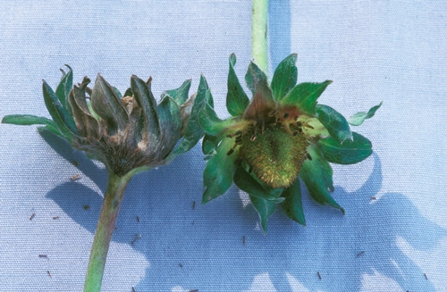 Gray mold lesions on calyces of developing fruit.  Photo courtesy Steven Koike, UCCE.