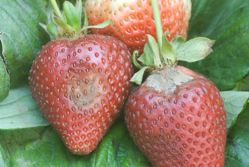 Early gray mold lesion on strawberry fruit.  Photo courtesy Steven Koike, UCCE.