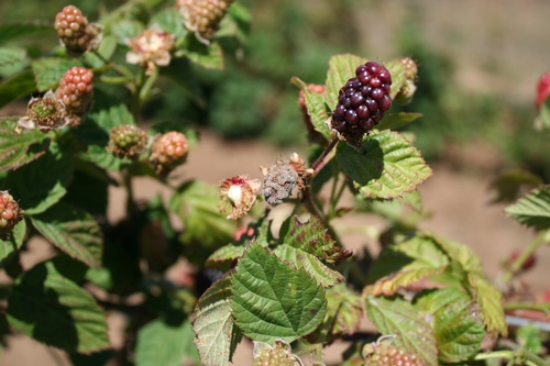 Botrytis infection on blackberry fruit. Fruit is desiccated and dried out.  Photo Mark Bolda, UCCE Santa Cruz County.