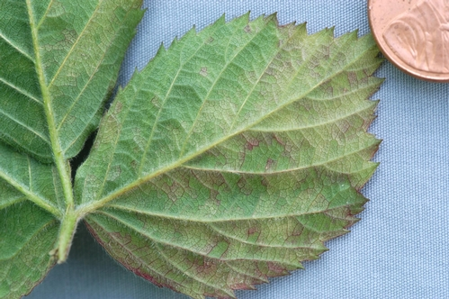 Downy mildew on underside of blackberry leaf.  Note yellow discoloration, this is where the white spore fungal masses would be seen.