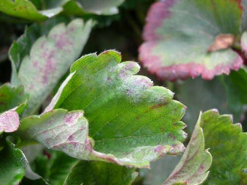 Photo 4: Powdery mildew on leaf of 'Camarosa' variety strawberry.  Note the leaf curling and association with purple blotches.  Photo by Mark Bolda.
