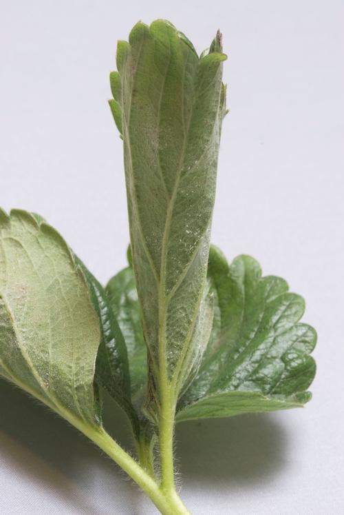 Photo 5: Powdery mildew on young strawberry leaf.  Photo courtesy Steven Koike.