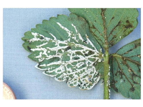 Slime mold on strawberry leaf.  Photo courtesy Steven Koike, UCCE