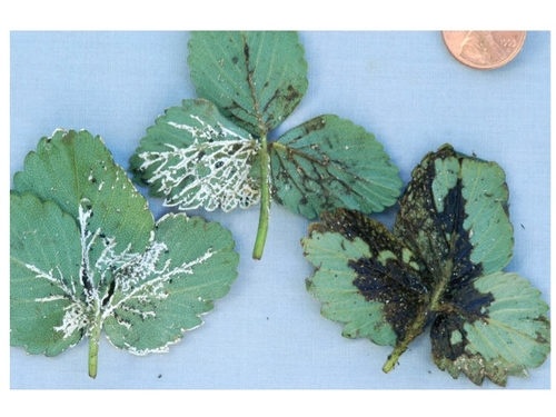 Slime mold on strawberry leaf.  Photo courtesy Steven Koike, UCCE.