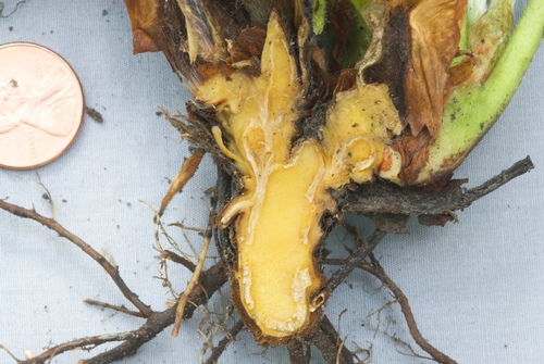 Figure 2. Crown of Verticillium-infected strawberry showing lack of internal crown discoloration..  Photo Steven Koike, UCCE.