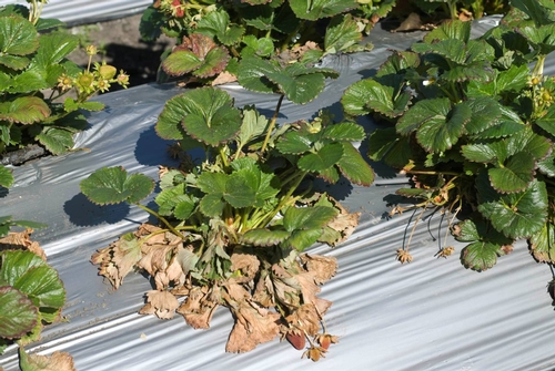 Figure 1: Brown foliage and plant collapse caused by Verticillium wilt.  Photo Steven Koike, UCCE.