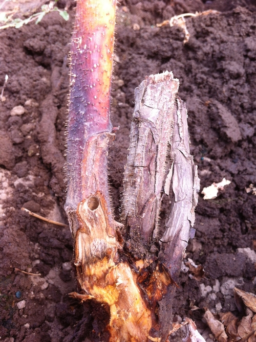 Borehole from raspberry crown borer.  Note clean edges of hole - no frass and not typical.