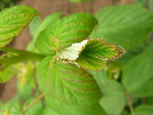 Leaf folded in manner typical of leafroller