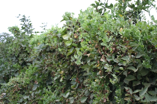 Photo 1: Blackberry hedgerow totally overgrown with field bindweed.