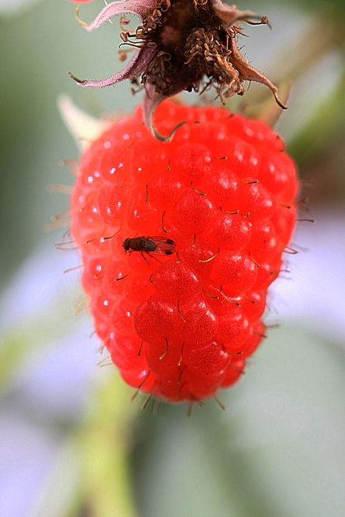 Male Drosophila suzukii on raspberry fruit.  Note black spots at ends of wings which distinguish this species from other vinegar flies.