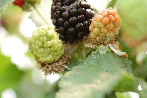 Leafroller webbing on mature fruit.