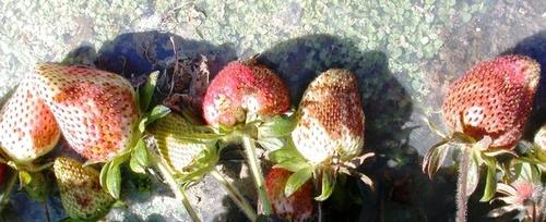 Damage to strawberry fruit by Chateau sprayed directly on top - don't do this!  Photo courtesy Oleg Daugovish - UCCE.