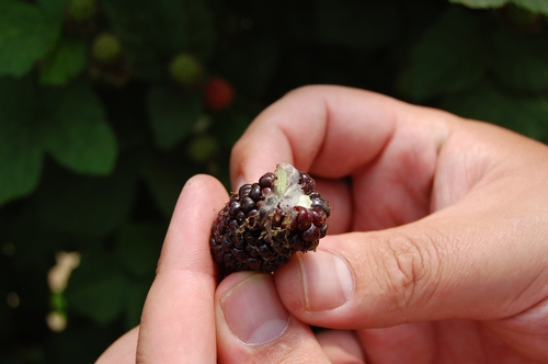 Webbing plus leafroller on fruit.  Fruit would not be marketable, and leafroller larvae has a high probability of ending up in the basket and heading to market.
