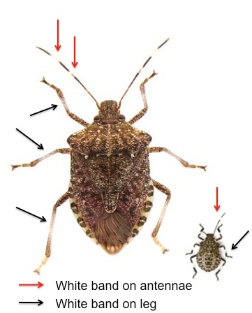 Figure 3: Bands on antennae and legs of brown marmorated stink bug.