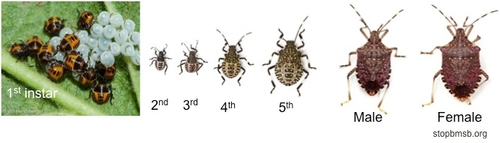 Figure 2: Life stages of brown marmorated stink bug.