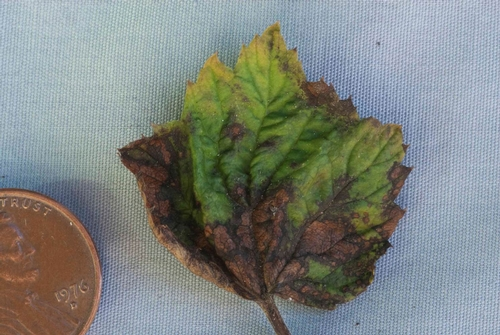 In advanced stages, diseased leaves have irregularly shaped, brown to dark brown lesions.
