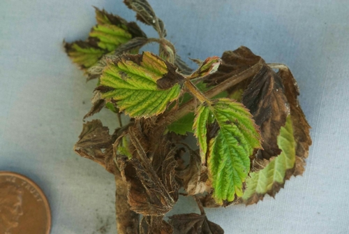 Raspberry shoots infected with this pathogen exhibit a blight-like symptom.