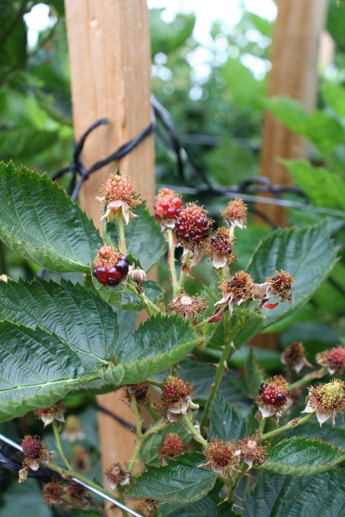 Blackberries not properly pollinated - heat and possibly an insufficiency of water is at cause for this failure to make.