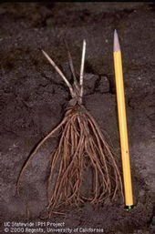Strawberry transplant showing correct positioning of the roots and depth of planting.  UC Statewide IPM Program.