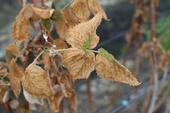 Sodium chloride damage in raspberry.  Note heavily burned leaf margins, to the extent that very little green remains.