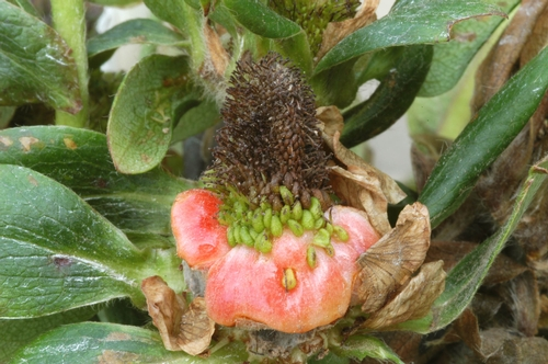 Figure 3. Fruit distortions caused by phytoplasma infection.  Photo courtesy Steven Koike, UCCE.