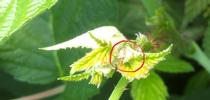 Lygus (circled in red) nestled in the very point of the growing raspberry. for Strawberries and Caneberries Blog