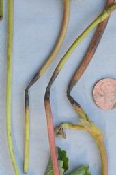 Photo 1: Strawberry runners damaged by high temperatures showed dark brown to black lesions.  Photo Steven Koike, UCCE.