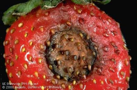 What do the experts really think about the situation of anthracnose on strawberry this fall?