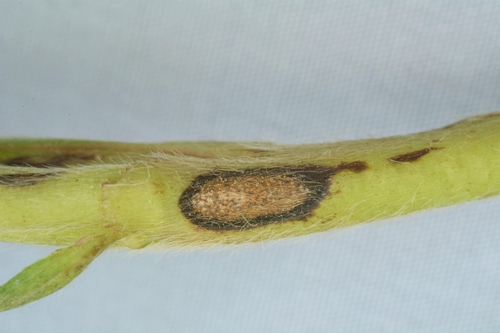 Anthracnose lesion on stem of strawberry.  Photo Steven Koike, UCCE.