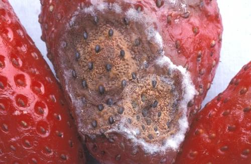 Advanced anthracnose lesion on strawberry fruit. Photo Steven Koike, UCCE.