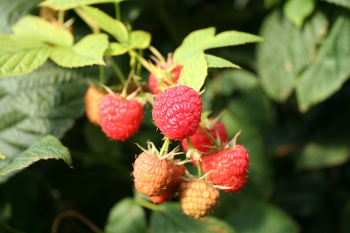 Can't miss caneberry extension event planned April 13 in San Luis Obispo.