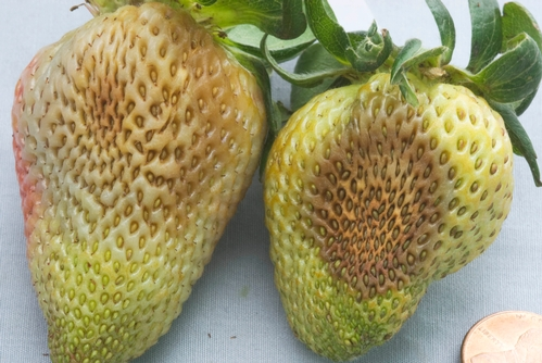 Effects of Phytophthora fruit rot on green strawberry fruit.