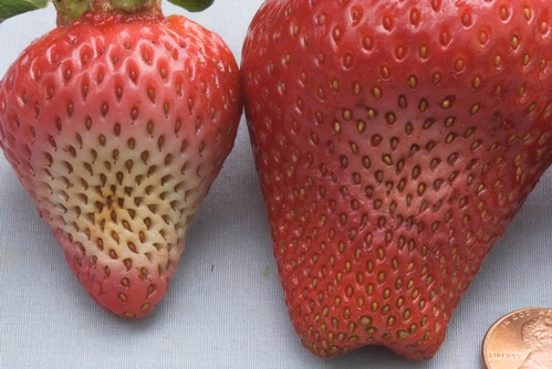 Effects of Phytophthora fruit rot on mature strawberry fruit.  Note white to gray lesions on each of the depicted fruit.