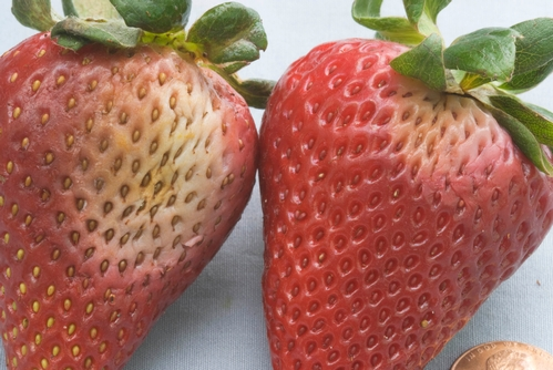 Effects of Phytophthora fruit rot on mature strawberry fruit.  Note white to gray lesions on each of the depicted fruit.  Center of fruit lesion on left has taken on a yellow-brown color.