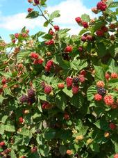 Ollalieberries the way they used to be - good plant vigor with big, delicious fruit.